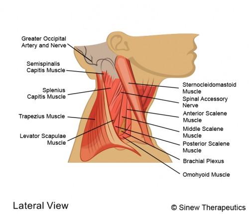 Neck Injuries Neck Pain Information Sinew Therapeutics