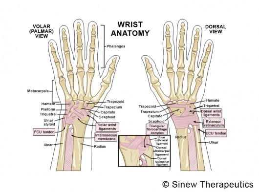 Tendons in wrist anatomy